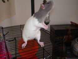 Mouchy, rongeur Rat