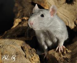 Elie, rongeur Rat