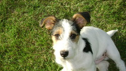 Barth, chien Jack Russell Terrier