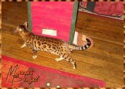 Billy, chat Bengal