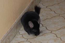 Cristale, rongeur Chinchilla