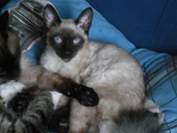 Rebele, chat Siamois