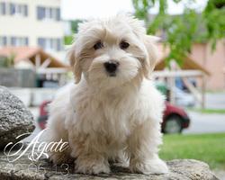 Agate De Morgane D'Havane, chien Bichon havanais