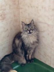 Agathe, chat Maine Coon