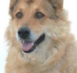 Agathe, chien Berger belge
