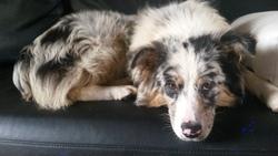 Agathe, chien Berger australien