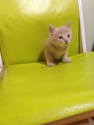 Agénor, chat Angora turc