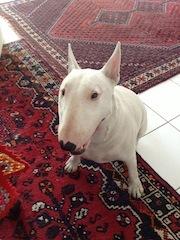 Aggi, chien Bull Terrier