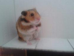 Agrume, rongeur Hamster