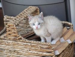 Agung, chat Gouttière