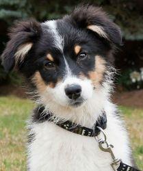 Aheli, chien Berger australien