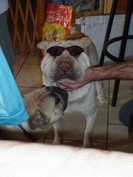 Ahiti, chien Shar Pei