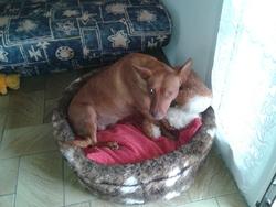 Aica, chien Podenco canario