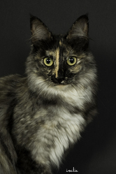 Aida, chat Angora turc