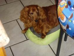 Aida, chien Teckel