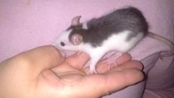 Aida, rongeur Rat