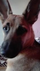 Aiden, chien Berger allemand