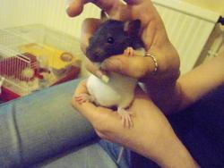 Aiguille, rongeur Rat