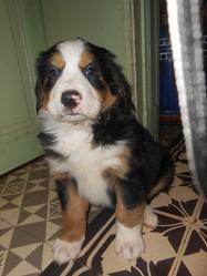 Aika, chien Bouvier bernois