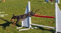 Aika, chien Manchester Terrier