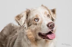 Aiko, chien Berger australien