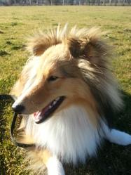 Aiko, chien Berger des Shetland