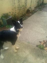 Aiko, chien Border Collie