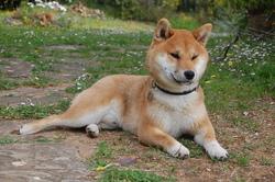 Aiko, chien Shiba Inu