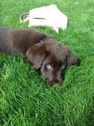 Aiko, chien Labrador Retriever