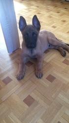 Aiko, chien Berger belge