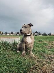 Aiko, chien American Staffordshire Terrier
