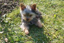 Aiko, chien Yorkshire Terrier