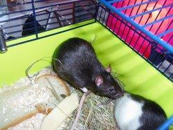 Aiko, rongeur Rat