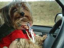 Aiko  , chien Yorkshire Terrier