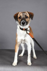 Aimela, chien Chien courant espagnol