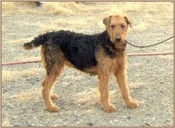 Air, chien Airedale Terrier