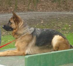 Ais, chien Berger allemand