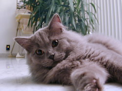 Aito, chat British Shorthair