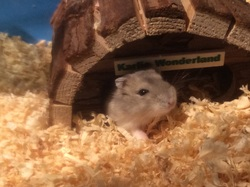´aito Au Paradis, rongeur Hamster