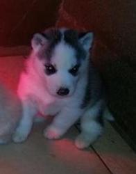 Aizen, chien Husky sibérien
