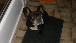 Ajax, chien Bouledogue français