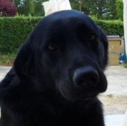 Aka, chien Labrador Retriever