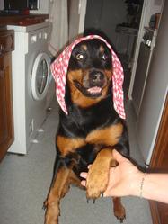 Akaila , chien Rottweiler
