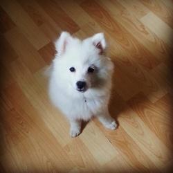 Akaly, chien Spitz allemand
