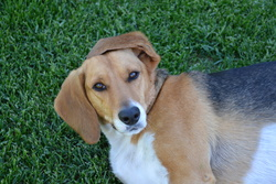 Akamaru, chien Beagle