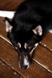 Akechanga, chien Husky sibérien