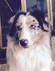 Akela, chien Berger australien