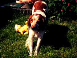 Akena, chien Épagneul breton