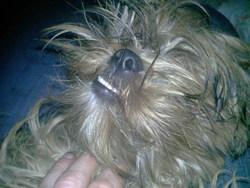 Akiko, chien Shih Tzu