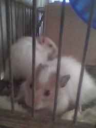 Akil, rongeur Hamster